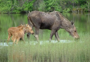 Moose cow (mother) and babies