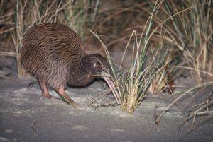 The elusive New Zealand Kiwi