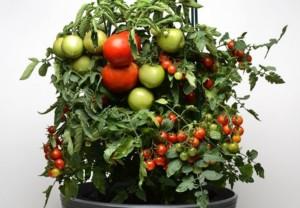 tomato, plant, container