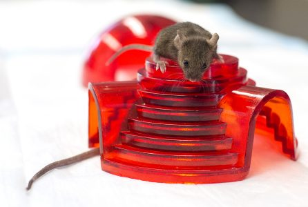 A mouse sits atop a contained mouse in Richard Miller's pathology and geriatrics lab at the University of Michigan. Miller heads one of the three labs funded by NIH to test anti-aging substances on mice. (Melanie Maxwell for KHN)